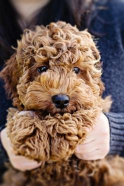 Goldendoodle...too cute!: Doggie, Animals, Dogs, Teddy Bears, Labradoodle, Pet, Puppy, Goldendoodle