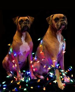 Happy Holidogs.. Wish i could get my 2 to do something like this i would be a great hiloday card!: Boxers Danes, Boxer Dogs, Boxers Always, Boxer Pictures, Christmas Card, Boxer S Holidogs, Boxer Babies, Christmas Boxers