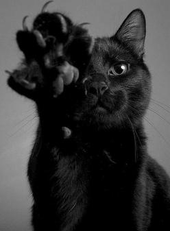 Here kitty kitty: High Five, Cat Paw, Beautiful Cat, Kitty Cats, Animals, Meow, Black Cats, Blackcats