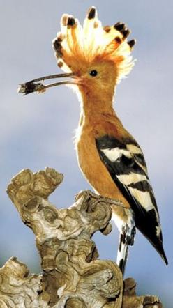 Hoopoe - national bird of Israel.: Animal Kingdom, Animal Cuties Birds, Animal Birds