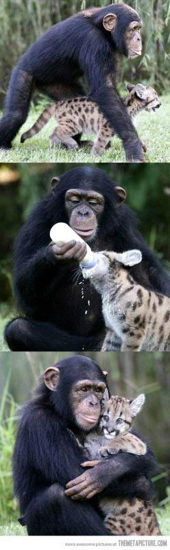 Humans should learn from animals…: Baby Monkey, Animal Friendship, Animals, Cat, Sweet, Monkey Animal, Baby Chimpanzee, Baby Gorilla