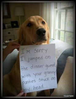 I'm sorry I jumped on the dinner guest… With your granny panties stuck on my head…: Animals, Dog Shaming, Pet, Funny Stuff, Granny Pantie, Funny Animal, Funnie