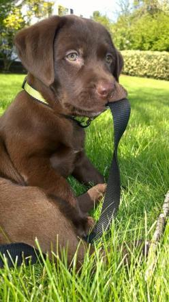 It's time for my walk! Cutie, I'd walk you any time!: Labrador Retriever, Brown Labrador Puppy, Chocolate Labrador Puppy, Chocolate Labrador Puppies, Chocolate Lab Puppies, Chocolate Labs Puppies, Animal, Chocolate Lab Puppy