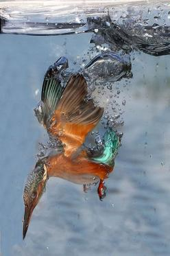 Kingfisher Underwater // by Adrian Groves: Kingfisher Diving, Underwater Photo, Diving Underwater, Kingfisher Underwater, Adrian Groves, Diving Kingfisher, Beautiful Birds, Animal