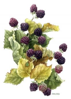 "Last Blackberries, by Caren Heine - We picked these every summer with my Dad...and some day we will again !! Mom will make jam or a delicious cake with berries and whipped cream...""cream tea"" they call it.: Fruit, Ежевика Картинки, Art Botanical P"