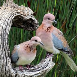 "Laughing Doves ~ Miks' Pics ""Fowl Feathered Friends ll"" board @ http://www.pinterest.com/msmgish/fowl-feathered-friends-ll/: Animals, Nature, Poultry, Creature, Featheredfriends, Beautiful Birds, Photo, Laughing Doves"