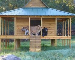 Lion, tiger and bear, oh my!  Leo the lion, Shere Khan the tiger and Baloo the bear were found together as cubs during a police raid of a drug baron's home in Atlanta. When the young trio moved to Noah's Ark rescue center in Locust Grove, Ga., zookeepers
