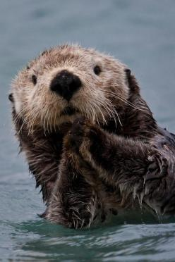 Look at this adorable picture of Benedict Sherlocking in the water!: Animal Kingdom, Animals Praying, Adorable Animals, Otters Time, Favorite Animal, Sea Animals, Portraits, Sea Otters