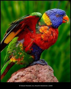 Lorikeets are all colors of the rainbow & quite awesome! The Long Beach Aquarium has a whole enclosure full of these. They are just plain awesome with all their rainbow colors!: Colour, Animals, Parrots, Rainbows, Pretty Birds, Beautiful Birds