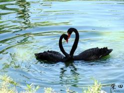 Love is in the water... Expression 3: Swans Water, Water Reflection, Love Pictures, Animals Too, Blackswans Heart, Animals Showing, Beautiful Black Swans, Photography, Heart Black