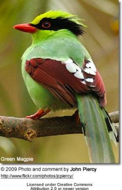 <3Green Magpie     Among the traditional magpies, there appear to be two distinct lineages: one consists of Holarctic species with black/white coloration and is probably closely related to crows and Eurasian jays. The other contains several species fro