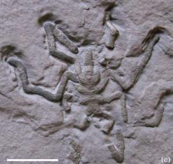 New Sea Spider Fossils Found. August 16, 2007-A rare treasure trove of ancient sea spiders found in France fills a 400-million-year gap in the mysterious creatures' spotty fossil record, scientists say. The well-preserved marine animals, called pycnog