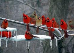 NORTHERN CARDINALS | Photo by Mark Adams via Joplin Independent (1/28/2009): Animals, Winter, Redbird, Nature, Beautiful Birds, Red Birds, Cardinals