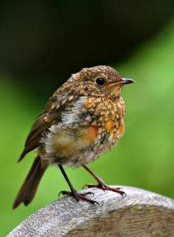 One summer I had this strange looking bird in my garden.  For weeks I kept wondering what is was, and mentioning out loud how similar its movement and stance was to robins:). Even  though Robins are my ultimate favourite, and spirit animal, I had never se