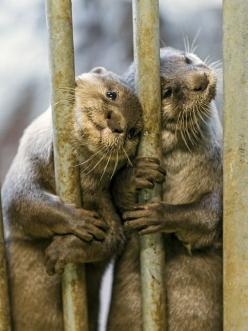 Otters, I have always loved otters, especially thrilled when I got to see them out in the wild when I lived in Florida.: Jaguar, Adorable Otters, Wild, Animals, Nature, Creatures, Otter Ly