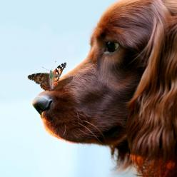our dog OTIS by Carolien Willems Photography - dog - Irish Setter: Cats, Butterfly, Animals, Dogs, Butterflies, Pet, Irish Setters, Photo, Friend