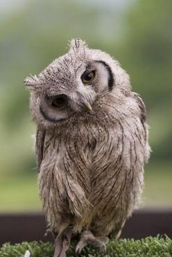 owls...remind me of my grammy...she loved them so much :): Animals, Creature, Hoot Hoot, Things Owl, Owl Obsession, Birds, Owls