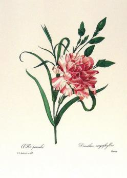 """P. J. Redouté - Dianthus caryophyllus. Striped carnation means """"I cannot be with you"""": Vintage Flower, Botanical Prints, Botanical Drawings, Botanical Illustrations, Art Prints, Vintage Botanical"""