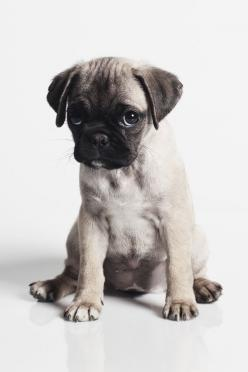 Pug Life: Face, Animals, Pug Puppies, Dogs, Pet, Adorable, Pugs, Puppy, Friend