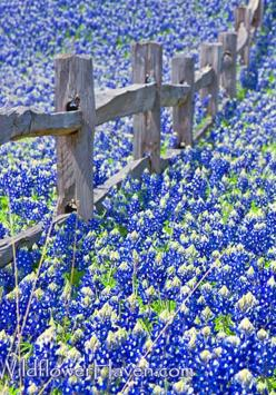 Retire in the Texas Hill Country - The NATIVES are friendly - read at http://boomerinas.com/2012/05/retire-in-the-texas-hill-country-the-natives-are-friendly-2/: Country Bluebonnets, Country Fence, Bluebonnets Texas, Hill Country Texas, Texas Bluebonnets,