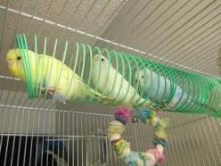 slinky budgies. In my estimation, this is a brilliant idea.: Budgie Toy, Bird Toys, Budgies Bird, Budgies Toys, 1 200 900 Pixels, Budgies Parakeet, 640 480 Pixels, 600 450 Pixels