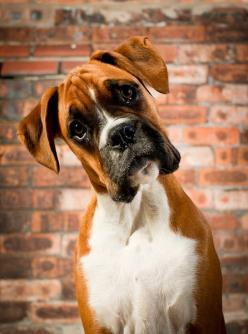So you mean to tell me: another doggie isn't living in the mirror??: Animals, Boxer Dogs, Pets, Boxer Love, Boxers, Puppy, Friend