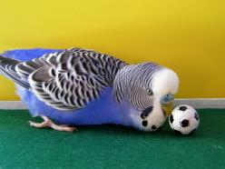 Soccer keet -- exactly like my Ricco. His eyes used to white get like this whenever he got a special treat.: Birds Ducks Chicken S Turkey S, Budgie Soccer, Birds Big, Undulater Budgies, Beautiful Birds, Budgies Parakeet, Budgerigars Parakeets