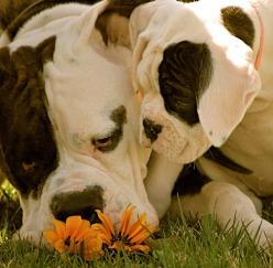 stop and smell the flowers...: American Bulldogs, Boxer Dogs, Sweets, Boxers, Boxer Babies, Flower, Friend, Animal, Bulldogs So Sweet