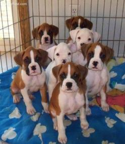 sweet boxer puppies.. pick me!!!: Boxer Pup, Boxer Dogs, Animals, Boxers Dogs, Boxerdogs, Pets Boxers, Puppy, Boxer Babies