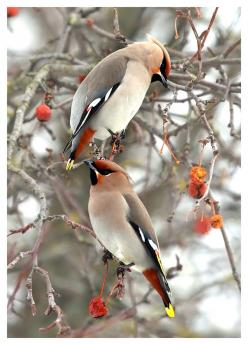 Taupe, white, tangerine, lemon yellow, black. Not your typical winter color palette, but this sure is beautiful.: Cedarwaxwings, Animals, Wax Wing, Beautiful Birds, Photo, Bird Watching