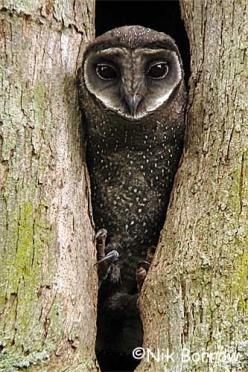 The Sooty Owl, also known as the Greater Sooty Owl, is a medium to large owl found in south-eastern Australia, Montane rainforests of New Guinea and have been seen on Flinders Island in the Bass Strait: Sooty Owl Tyto, Birds Owls, Hoot Hoot, Owl Photos, G