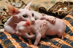 These guys would not make it in Minnesota--burrrrrr.  I would have to knit a coat for them and line it with flannel!  lol: Sphinx Cats, Sphynx Cats, Animals, Mother, Hairless Cats, Kittens, Things, Baby, Kitty