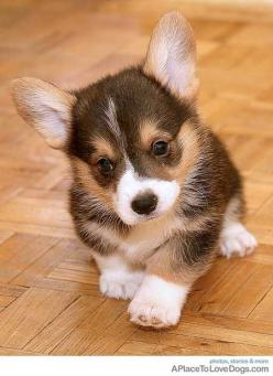 @Valerie Moody @Alie Rudolf we could get a corgi if you can't find a cute kitten hehe there about the same size!: Corgis, Welsh Corgi, Animals, Dogs, Corgi Puppies, Pembroke Welsh, Pet, Corgi S