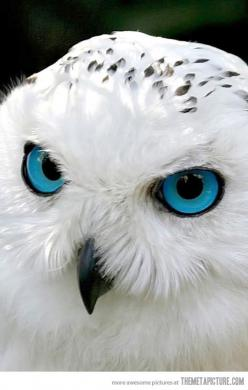 What lovely eyes you have……..<3.. u touch the remote-i bite you: Animals, Blueeyes, Beautiful, White Owls, Blue Eyes, Snow Owl, Snowy Owl, Birds, Snowyowl