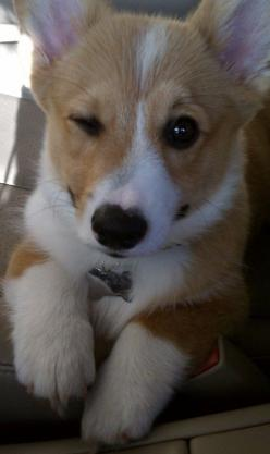 "Wife says, ""NO MORE Corgies!""....yeah, right.: Corgis, Wink Wink, Animals, Dogs, Corgiwink, Pet, Corgi S, Corgi Winks"