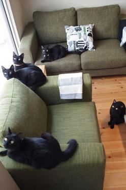 13 Ways Black Cats Make Life Amazing #refinery29  http://www.refinery29.com/the-dodo/64#slide5  They're considered lucky in Japan. (There's even a black-cat cat cafe!): Black Cats, Cat Cafe, Crazy Cat, Blackcats, Gorgeous Cat, Kitty, Cat Lady, Ani