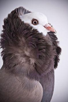 3/23 Richard Bailey/Caters News Darwin's Pigeons Old Dutch Capucine (Photos by Richard Bailey/Caters News)Darwin's Pigeons