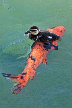 """Baby Duck"" - photo by George Nakamura, via Flickr    ...hitching a ride...: Duck Catching, Animals, Baby Ducks, Duck Hitching, Koi Fish, Duck Riding, Duck Fish, Birds"