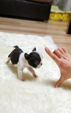 5 Sweetest Teacup puppies you have ever seen: Teacup French Bulldogs, Cute Teacup Puppies, Puppys, Frenchie, Animal