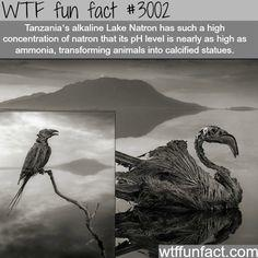 A lake in Africa has such a high mineral content that it crystallizes bodies of birds (from WTF fun facts via tumblr)