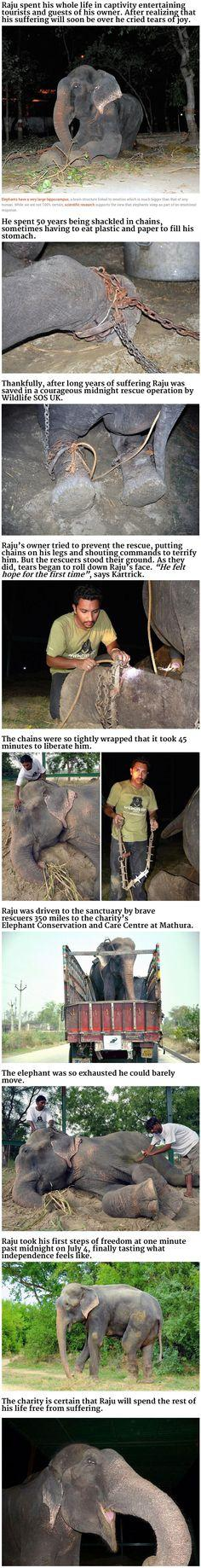 A rescued elephant: Elephants, Humanity Restored, Rescue Animal, Sad Animal, Animal Cruelty Stories, Animal Stories, Rescued Elephant, Elephant Cries