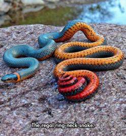 A Truly Beautiful Snake: Animals, Regal Ring Neck, Regal Ringneck, Color, Ring Neck Snake, Reptile, Snakes