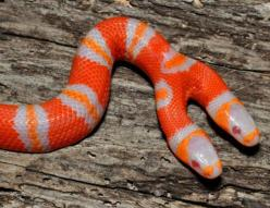 A two-headed albino Honduran milk snake hatched at conservation group Sunshine Serpents in Florida.  Snakes of this non venomous species are normally orange and black. Daniel Parker, a University of Central Florida biologist, says two-headed snakes have b