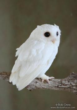 Albino screech owl, photo by Bob Gress: Animals, Nature, Screech Owl, Albino Owl, Owl Photo, Albino Screech, White Owls, Birds, Screechowl