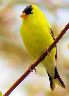 American Goldfinch, Diane Carlson: Birds Birds, Diane Carlson, Poultry, Awesome Birds, American Goldfinch, Greeting Card, Beautiful Birds, Animals Birds