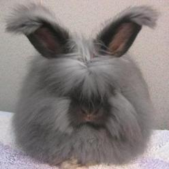 Angora rabbit: Angora Bunny, Adorable Animals, Pets, Angora Rabbits, Creatures, Angorarabbits, Things, Bunnies