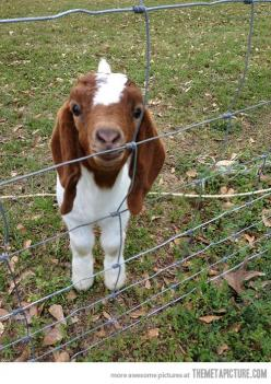 Baby goat! Yes, I will hug you! this is seriously the cutest thing i have ever seen in my life. <3: Farm Animals, Boer Goat, Pet, Baby Animals, Baby Boer, Happy Goat, Baby Goats, Kid