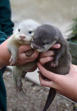 baby otters: Babies, Stuff, Baby Otters, Pet, Creatures, Things, Baby Animals, Babyotters, Adorable Animal