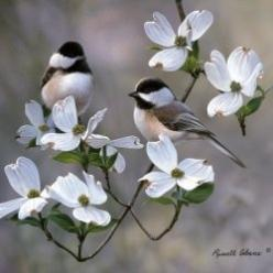 Beautiful birds, Chickadees on a Dogwood Tree: Animals, Beautiful Birds, Tattoo