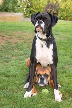 Best of Friends.-This is what Boxers Do! Sit on each other. This is what Ruger does to Diesel!: Black Boxer Dog, Boxer Dogs, Animals, Boxerdogs, Pet, Boxers, Boxer Babies, Friend